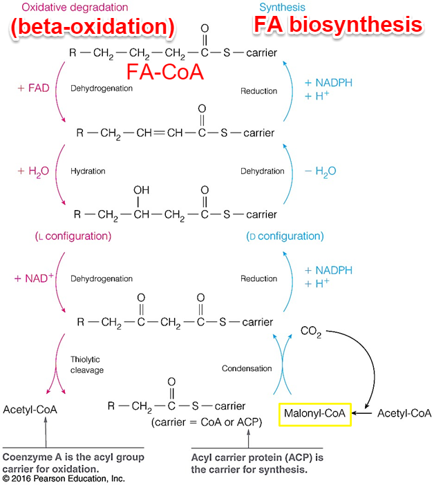 Lecture 10 Fatty Acid Synthesis